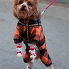 A dog making a fashion statement in Beijing.