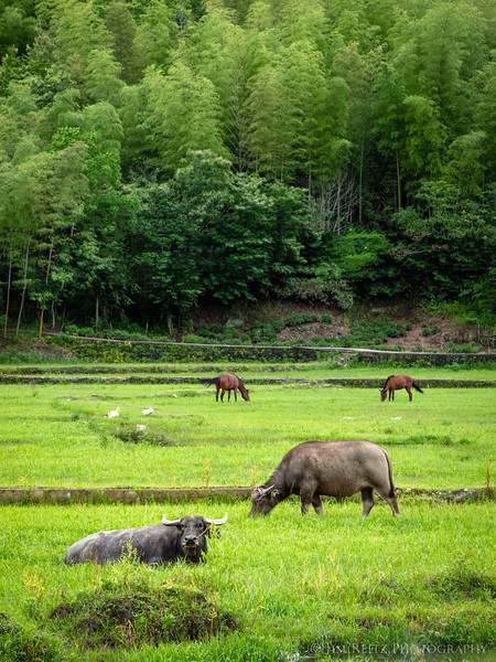Typical rural scene outside Hongcun village. Water bufflo grazing in foreground, bamboo-covered hillsides beyond.