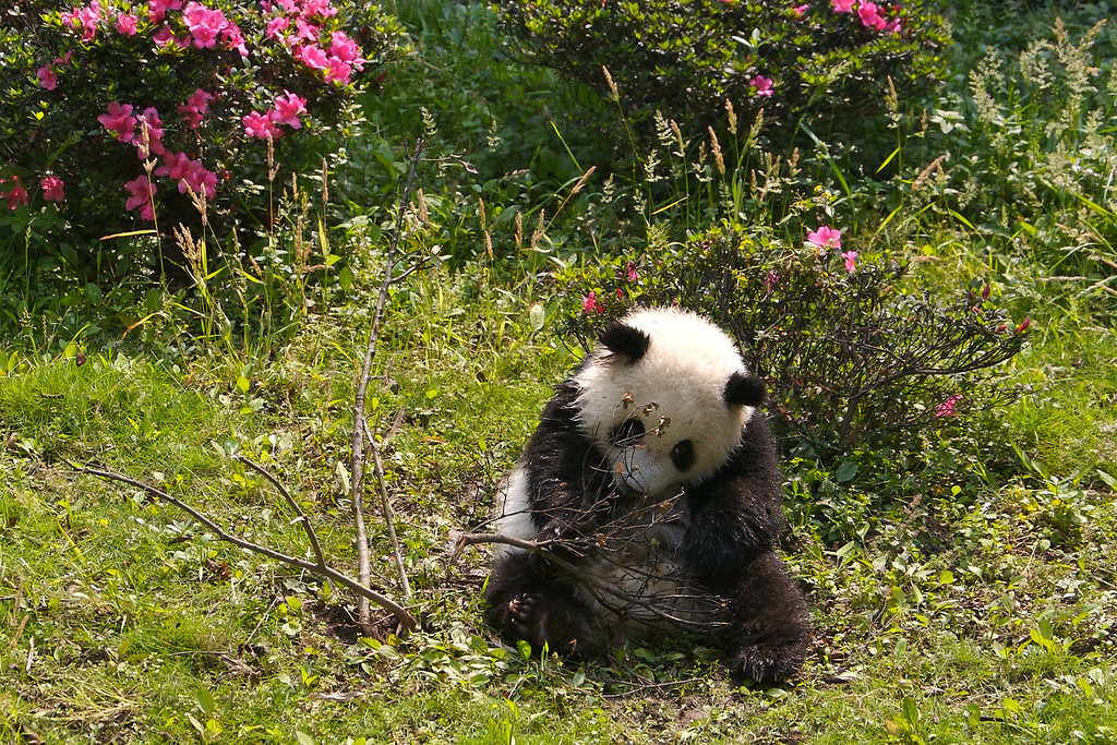 Panda, Chongqing Zoo, China<br /> Copyright 2007, Tom Farmer