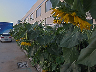 Sunflowers in front of the blade factory.