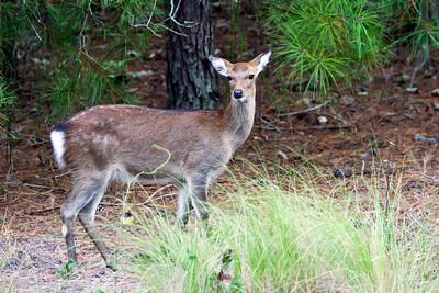 Sika Elk, Cervus nippon nippon