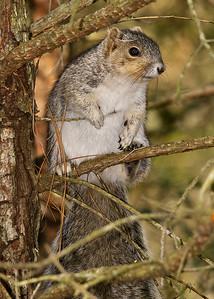 Delmarva Peninsula Fox Squirrel