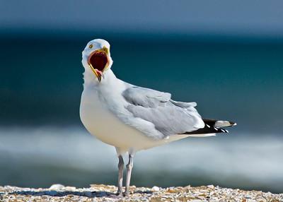 Seagull brighter version
