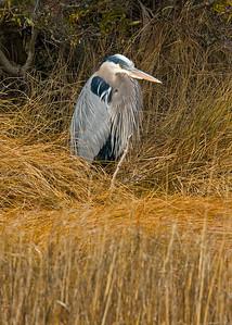 Great Blue Heron, Chincoteague National Wildlife Refuge