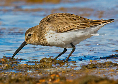 Dunlin: Chincoteague National Wildlife Refuge