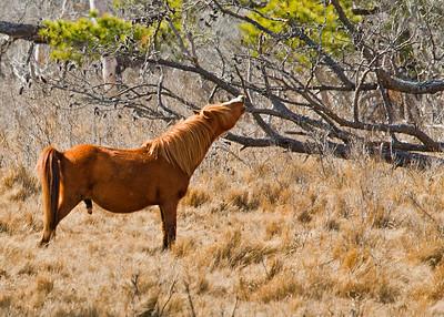 Wild horses Chincoteague National Wildlife Refuge