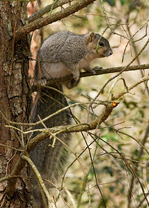 Delmarva Peninsula Squirrel