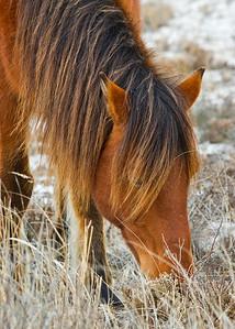 Wild horses Assateague Island