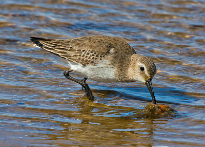 Dunlin:Chincoteague National Wildlife Refuge