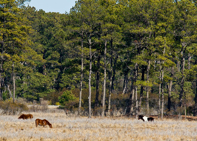 Wild horse Chincoteague