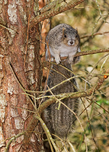 Delmarva Peninsula Squirrel