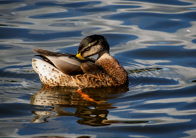 Mallard - Christchurch Quay