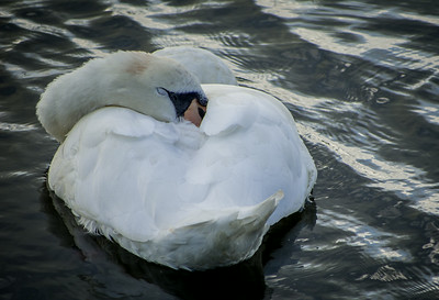 Swan - Christchurch Quay