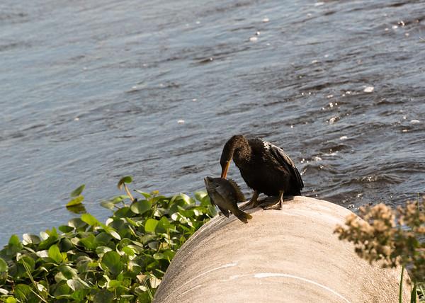 Anhinga (Water Turkey)