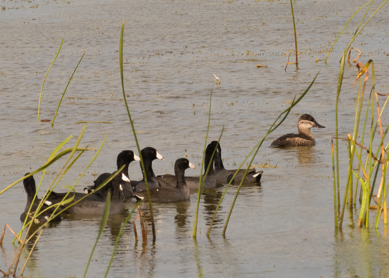 Ruddy Duck with Coots