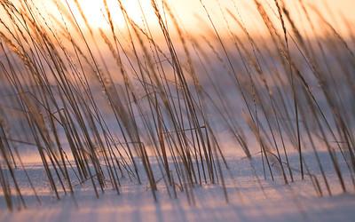 Arctic Grass