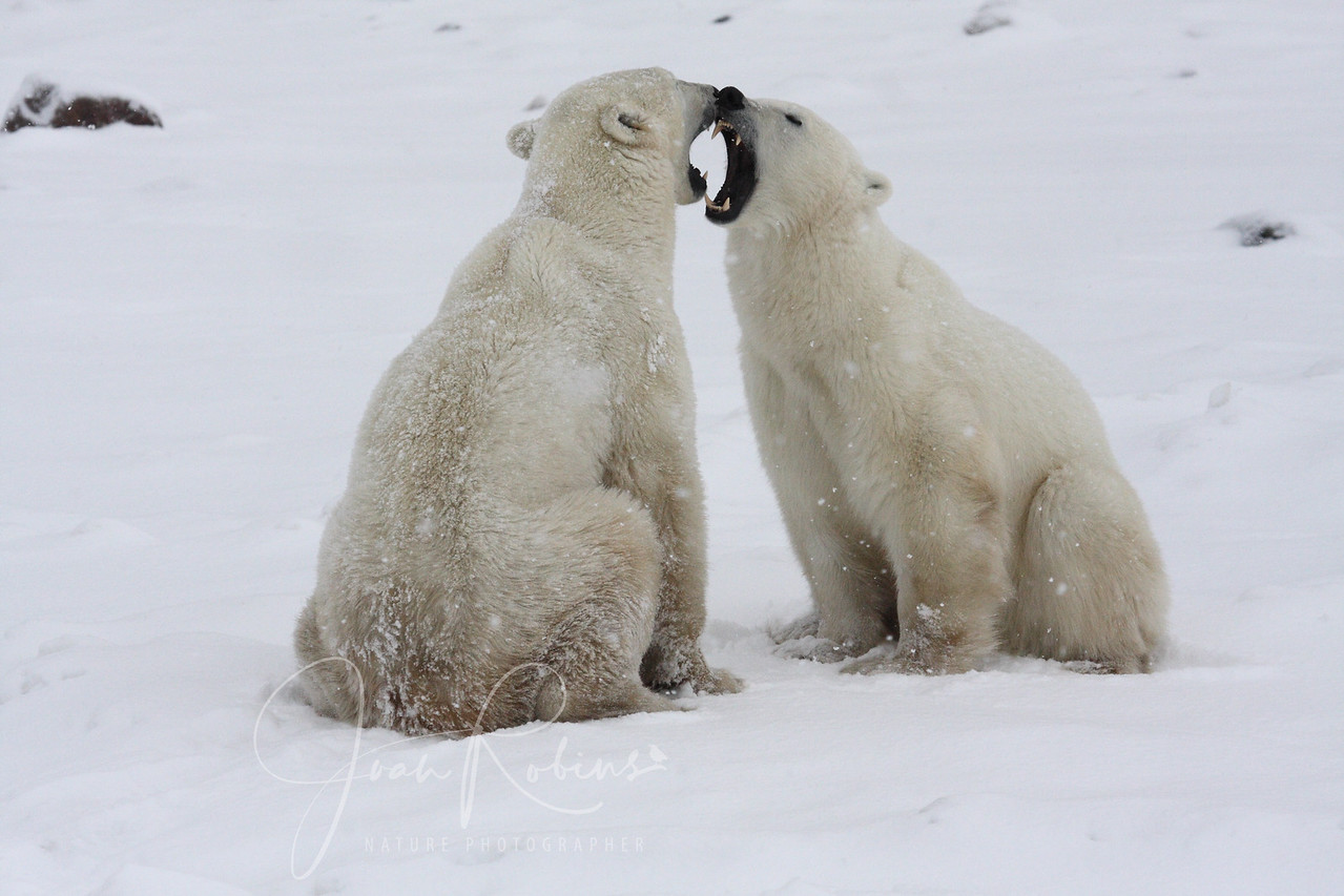 Polar Bears play-fighting in Churchill Manitoba