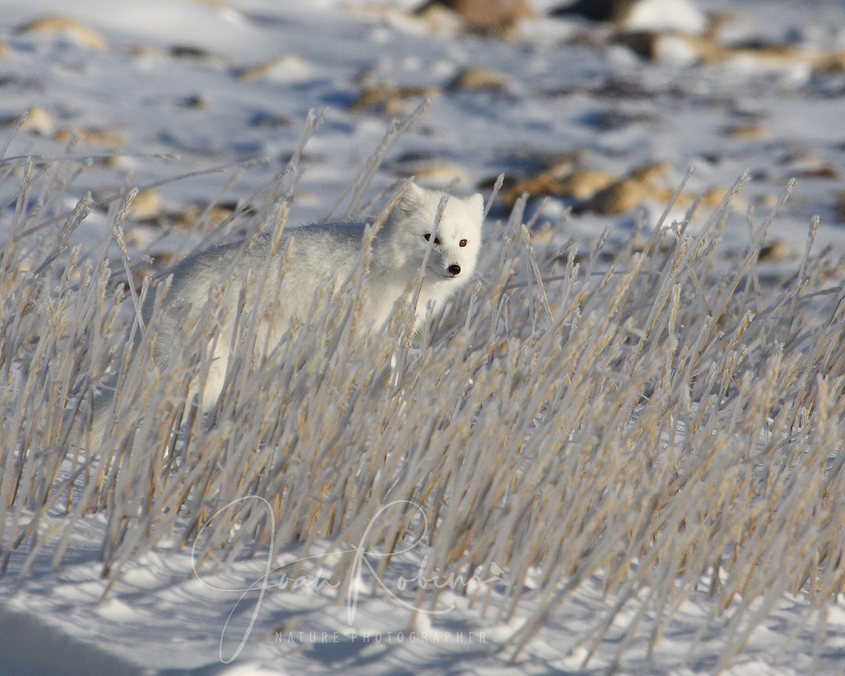 Arctic Fox peers throug frozen grasses in Churchill Manitoba