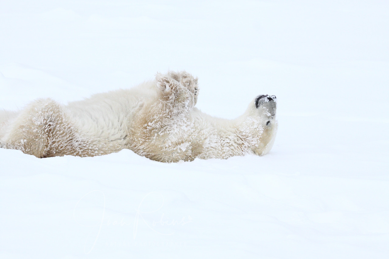 Polar Bear resting in Churchill Manitoba