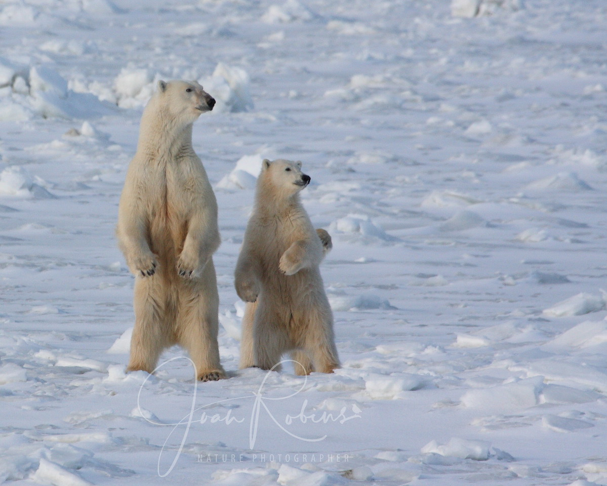 Polar Bears on the lookout for danger in Churchill Manitoba