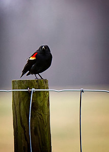 03/15/12 Red-winged Blackbird at the CVG Airport Viewing area.