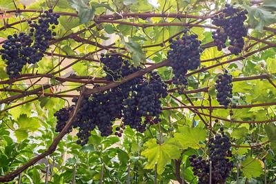 Grapes growing in a backyard