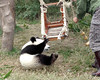 Panda Research Center, Chendu, China