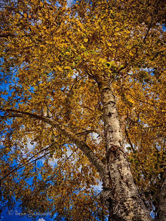 11-6-12 Ravenna Fall Color - This was found while I was walking around a Seattle neighborhood looking for fall color after I was told that my doctor was running more than 30 minutes late.  It was beautiful out and I decided to see if I could find a nice neighborhood tree.  This was taken with my Panasonic GH2 and a 20mm 1.7 Panasonic lens. <br /> <br /> Critiques welcome.