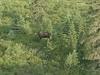 moose_6