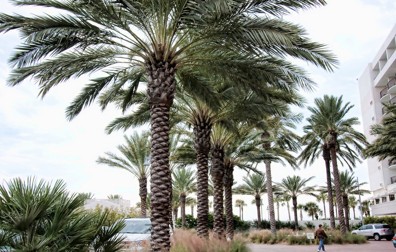 Palm trees in a hotel parking lot. Clearwater Beach Florida.