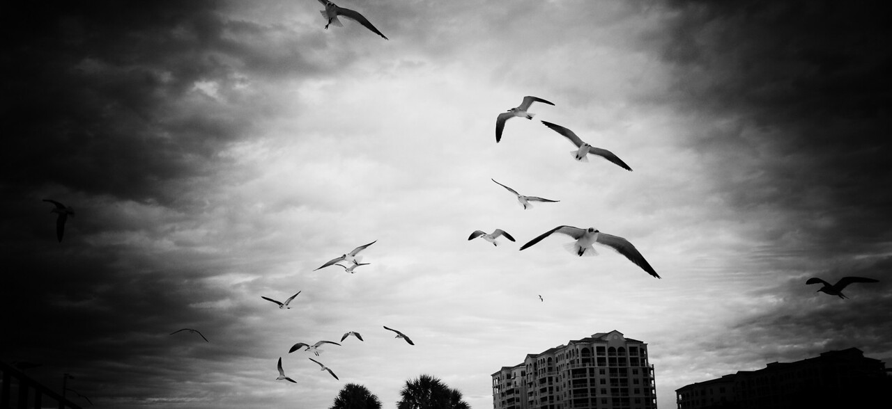 Gulls in Flight, Black and White.