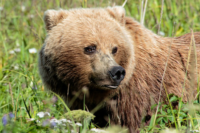 Costal Brown Bear- Alaska