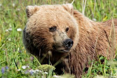 Costal Brown Bear- Alaska