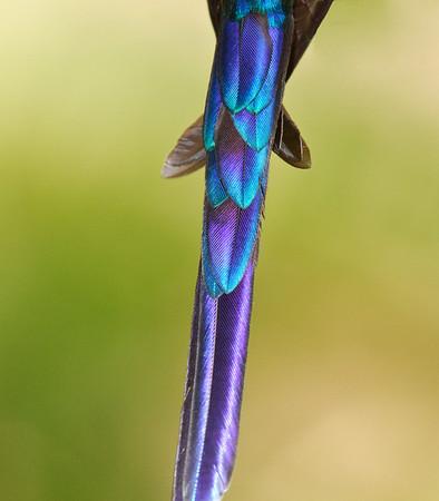 Violet Tail