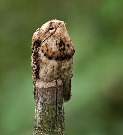 Common Potoo, juvenile