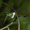Booted Racket-tail male