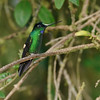Buff-winged Starfrontlet, male