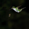 Booted Racket-tail female