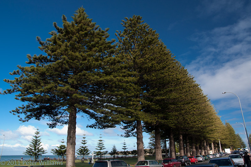Norfolk Island pines surviving well at Victor Harbour