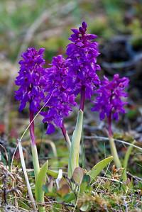 Wild orchids, Vega.