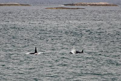 Orca near Torghatten.