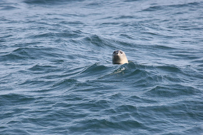 Seal off Atlantic Coast