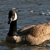 A Canadian Goose at the Chattahoochee River National Recreation Area