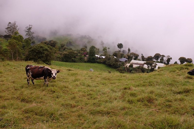 Our final hike, we say hello and goodbye to this cow.