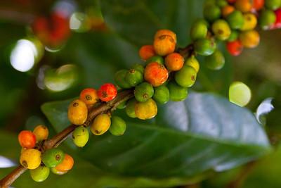 Caffee Region-11