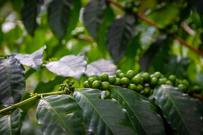Coffee Beans Growing at the Coffee Museum - Armenia Region Colombia (December 2012)