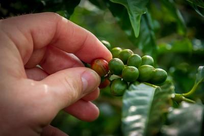 Picking Fresh Coffee Beans