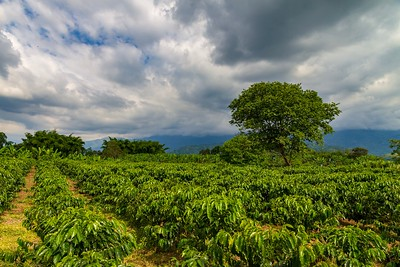Not a Vineyard... A Coffee Plantation