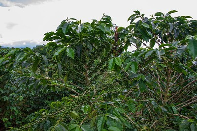 Trees full of Colombian Coffee