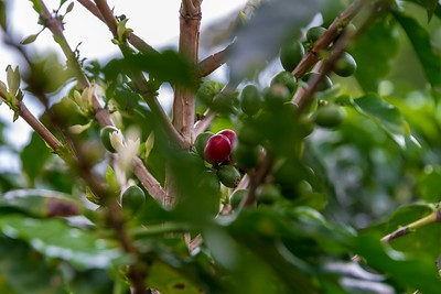 Coffee Beans Growing on the Tree